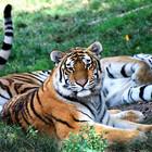 tigereye24