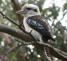 Laughing Kookaburra (Dacelo novaeguineae) - Warriparinga Wetland, South Australia by Dan & Emma Monceaux