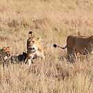 Lions Guarding a Kill, Maasai Mara, Kenya  by Carole-Anne