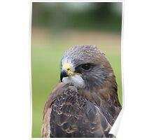 "Swainson's Hawk - ""Dusty"" Poster"