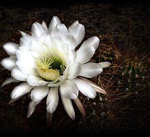 Torch Cactus - Echinopsis Candicans by Saija  Lehtonen