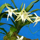 Angraecum sesquipedale by supergold