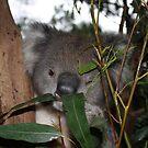 Koala Wink by Jacqueline  Murphy