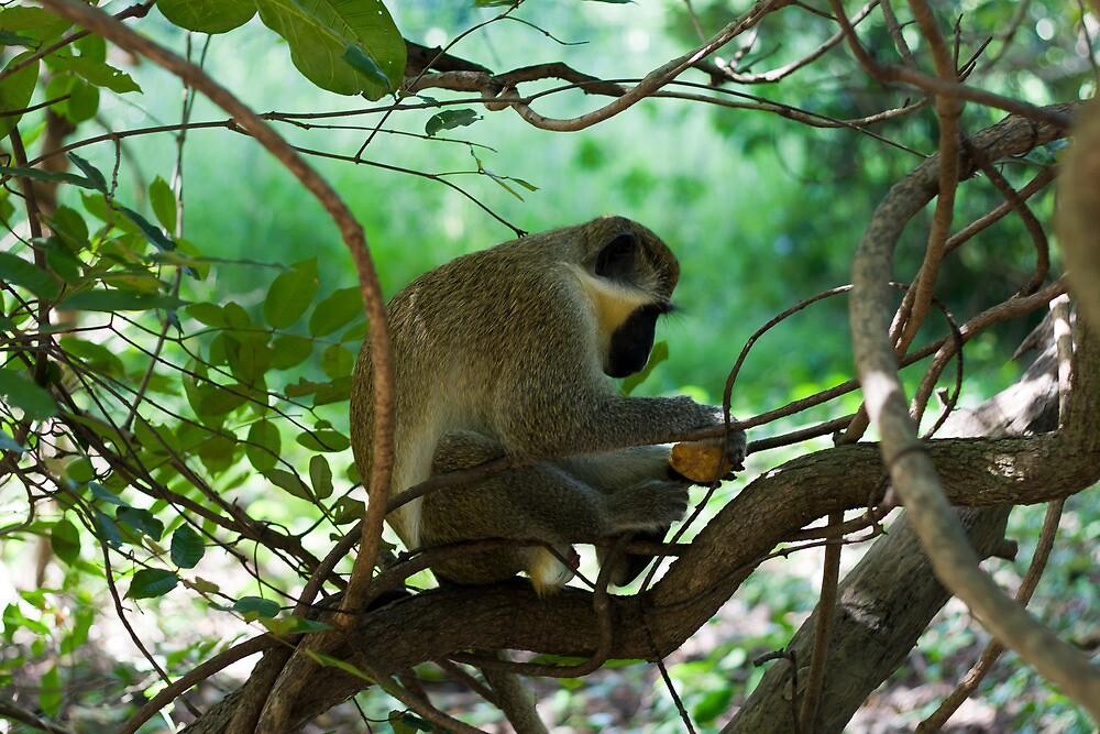 Vervet Monkey Eating by Ville Vuorinen