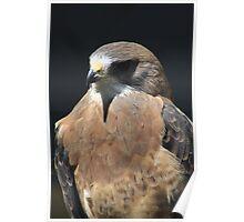Swainson's Hawk Poster