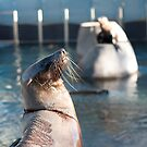 Prancing Seal by Carol Ferbrache