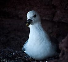 Fulmar by KWTImages