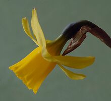 yellow daffo by jan vermeij