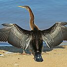 Australian Darter by Robert Abraham