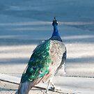 Proud Peacock by Carol Ferbrache