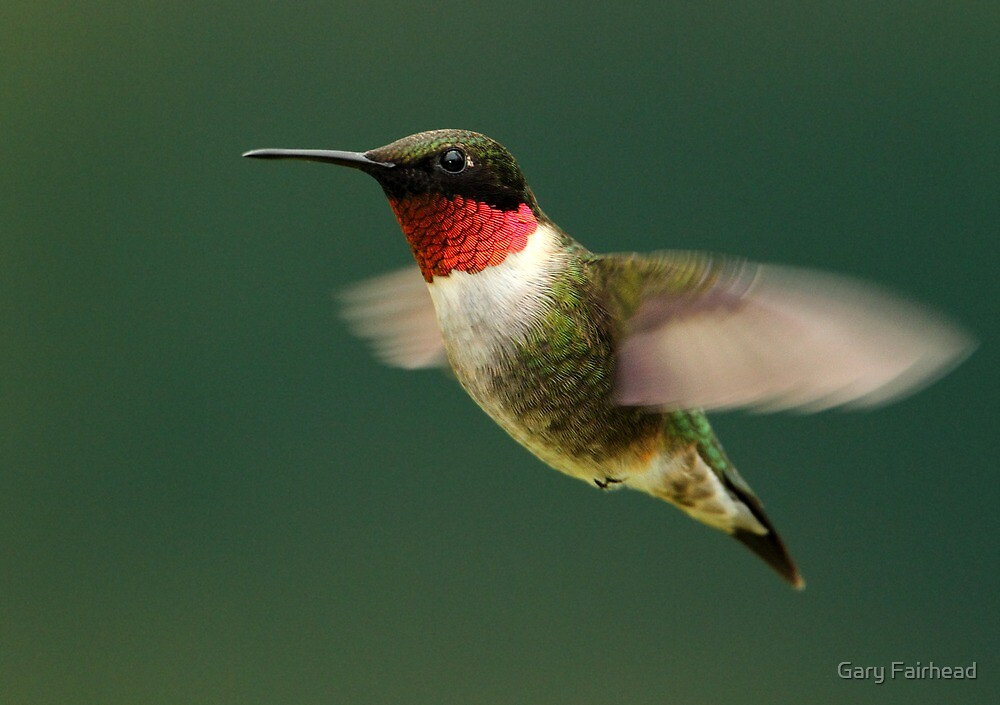 Here Today And Gone Tomorrow / Ruby Throated Hummingbird by Gary Fairhead