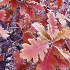 First frost on Oak Leaves by Margot Ardourel