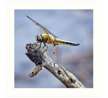 Four-Spotted Chaser Dragonfly - Libellula quadrima Art Print