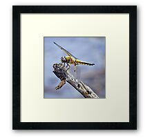 Four-Spotted Chaser Dragonfly - Libellula quadrima Framed Print