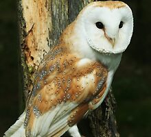 barn owl  by richard gawthorpe