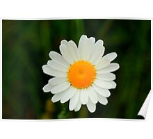 Ox-Eye Daisy, Manfield Scar, River Tees, England Poster