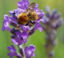 Bee on Lavender by AllSeeingEye