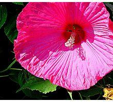 Pink   ^ Photographic Print