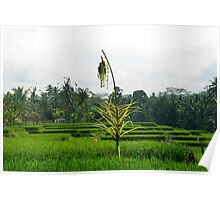 Ubud Ricefields Poster