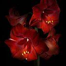 Scarlet Amaryllis by Ann Garrett