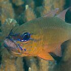Cardinalfish with Eggs by Mark Rosenstein