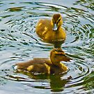 Ducklings. by Colin Metcalf
