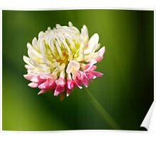 Clover Flower Up Close Poster