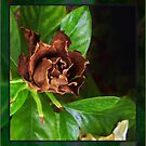 Chocolate Gardenia by Ginny Schmidt
