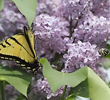 Tiger Swallowtail Butterfly & a Bee by KansasA