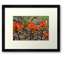 Indian Paintbrush in western Montana Framed Print