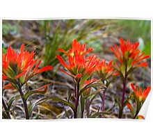 Indian Paintbrush in western Montana Poster