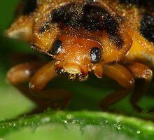 Macro of a Ladybeetle by Gabrielle  Lees
