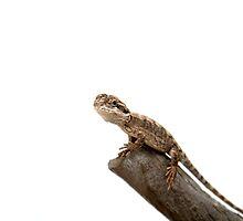 Small Bearded Dragon - Pogona Barbata by Linda Swadling