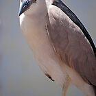 Black-crowned Night-Heron by Eddie Yerkish