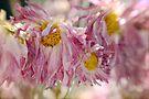 Pretty in Pink by yolanda