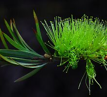 Callistemon pachyphyllus by andrachne