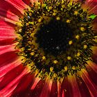 Red Sunflower by Zeibyasis