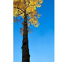 Standing Tall - Aspen at Echo Lake, CO Photographic Print