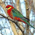 Adult Western Rosella by Robert Abraham