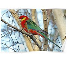 Adult Western Rosella Poster