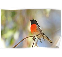 Male Scarlet Robin Poster