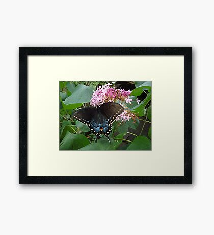 Black Eastern Swallowtail - Summer's End Framed Print