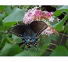 Black Eastern Swallowtail - Summer's End Photographic Print