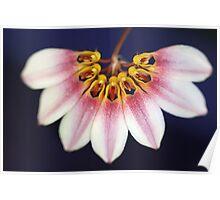 Bulbophyllum lepidum Poster