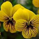 Yellow Pancy by Dhruba Tamuli