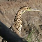 Young Tiger Heron by cornishgirlie