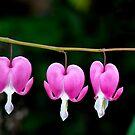 Bleeding Heart Flower by Dhruba Tamuli