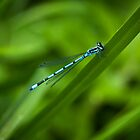Damselfly by David Isaacson