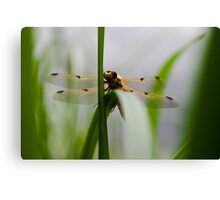 Dragonfly - Four-spotted Chaser Canvas Print