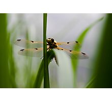 Dragonfly - Four-spotted Chaser Photographic Print